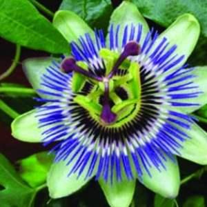Passiflora-Caerulea-66381000_groot