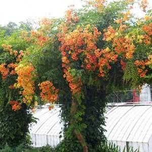 turuncu-renkli-acem-borusu-saksi-bahce-sarmasigi
