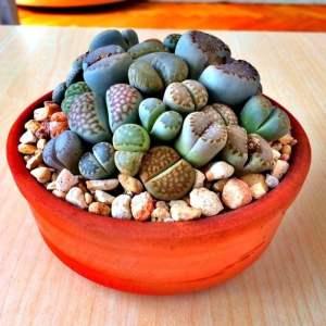 plantas-raras-lithops-cactus-piedra-piedras-vivientesavl-D_NQ_NP_308521-MLA20812438029_072016-F