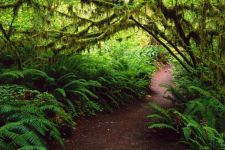 Hoh rain forest. Olympic National Park. Washington. USA
