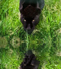 14753055-Black-jaguar-Panthera-Onca-prowling-through-long-grass-in-captivity-reflected-in-calm-water-Stock-Photo