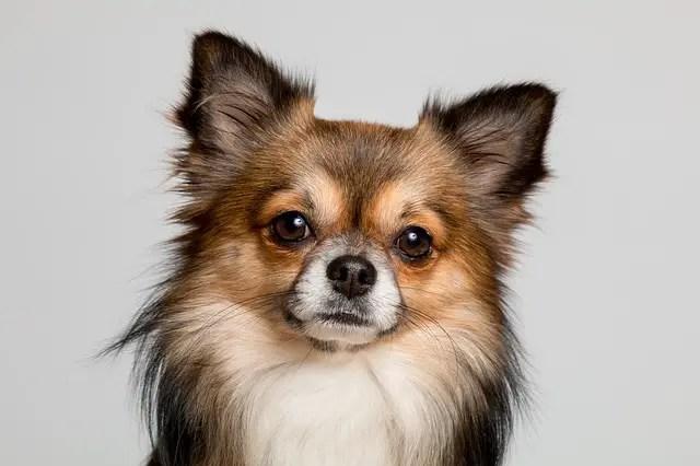 Choisir des races de petits chiens : quels avantages et comment s'y prendre?