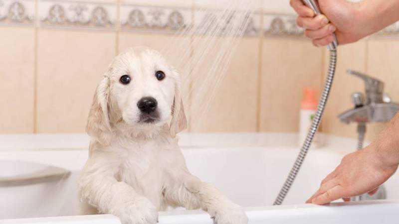 Comment utiliser un shampoing pour chien