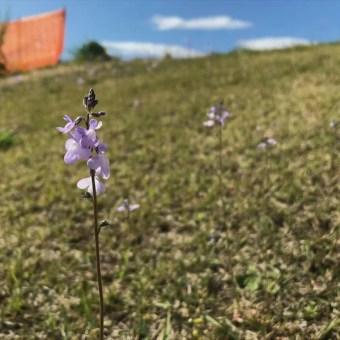 多摩川の土手に咲く小さな花たちは、自粛期間中の子どもとの散歩の楽しみ。