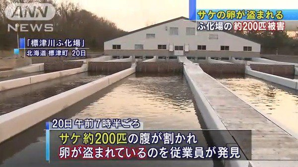 Some 200 salmon cut open with their eggs stolen were found in a river near a hatchery in Hokkaido (TV Asahi)