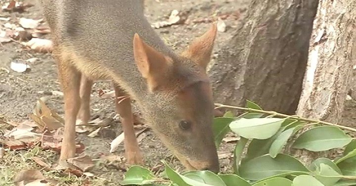 The Saitama Children's Zoo opened Japan's first exhibit of pudú, the world's smallest deer (TBS News)