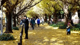 20141202 Tokyo Gaienmae Ginkgo
