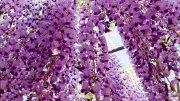 Ashikaga Park : Wisteria Festival