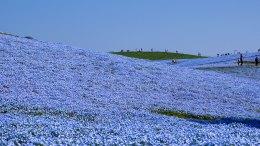 Hitachi Seaside Park : Nemophila Harmony