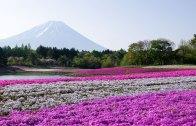 Yamanashi Fuji Shibazakura Matsuri