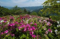 The Azalea of Ozu Tomisuyama Park