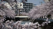 Ooka River Cherry Blossoms