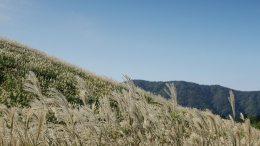 Sengokuhara Pampas Grass Field