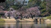 First Sakura at Koishikawa Korakuen Garden