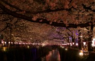 Nakameguro Cherry Blossom by Night