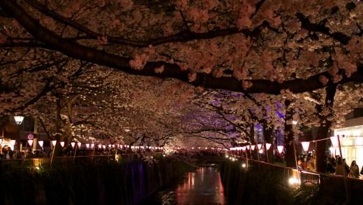 Nakameguro Cherry Blossom by Night