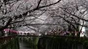 Nakameguro Cherry Blossom