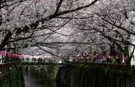 Tokyo Nakameguro Sakura