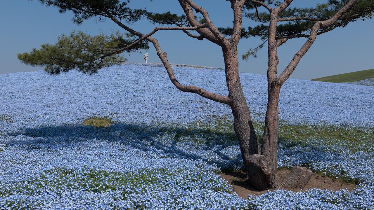 Hitachi Seaside Park Nemophila Harmony Teaser