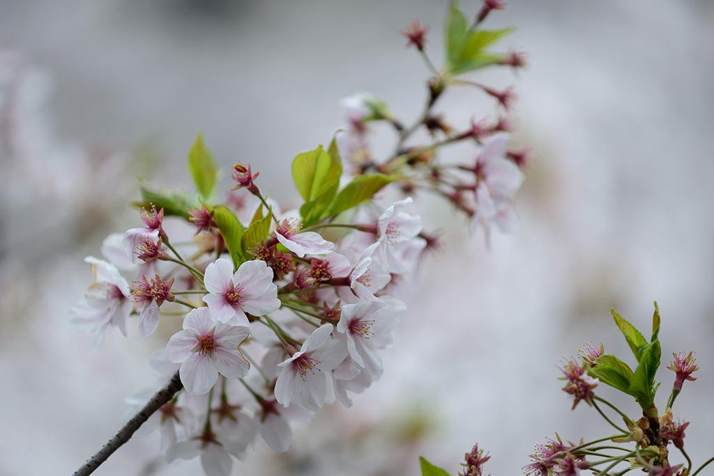 Inokashira Koen (The Sakura Guide)