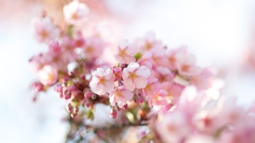 Koganei Koen (The Sakura Guide)