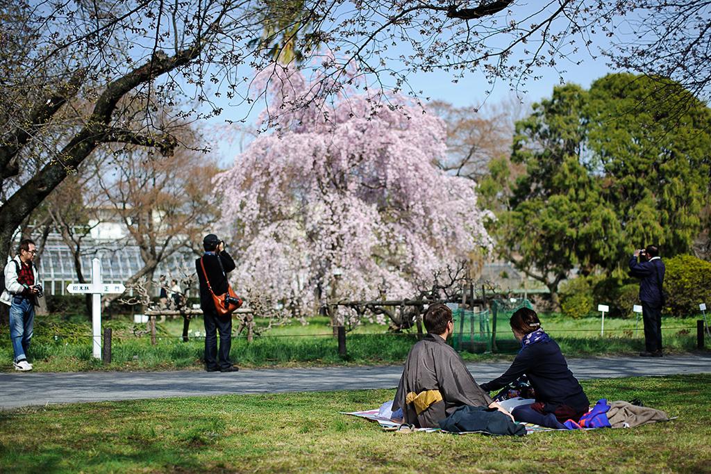 Koishikawa Botanical Gardens (The Sakura Guide)