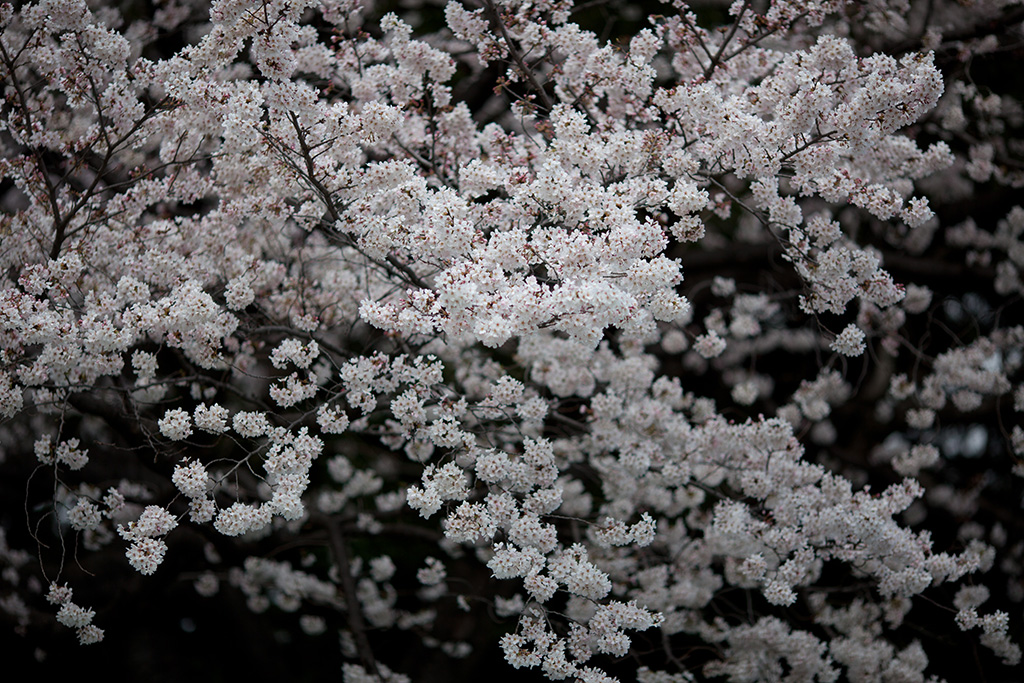 Showa Kinen Koen (The Sakura Guide)