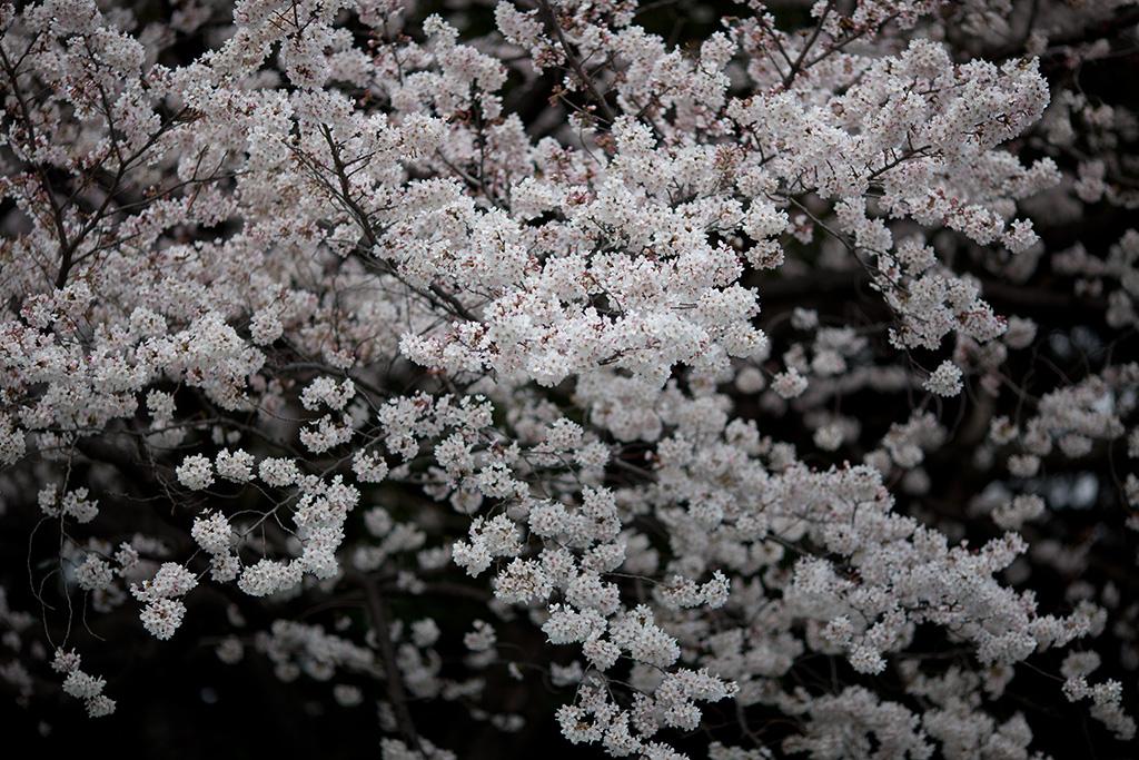 Showa Kinen Koen (The Sakura Guide)
