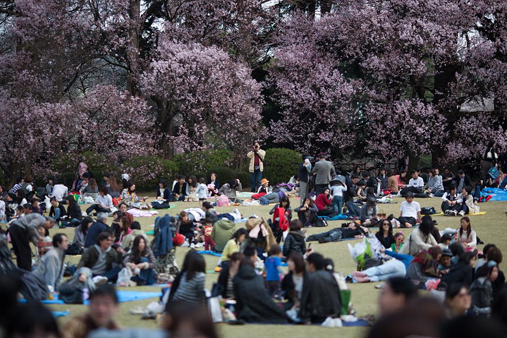 Kinuta Koen (The Sakura Guide)