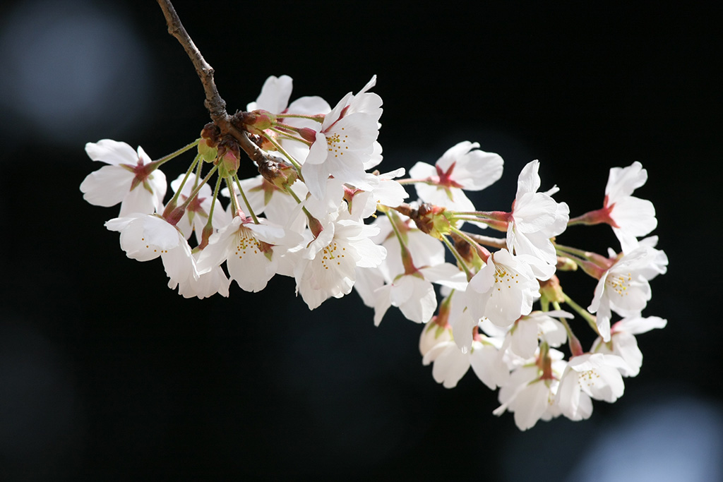 Meiji Shrine Gyoen (The Sakura Guide)
