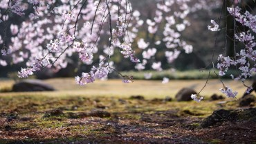 sakura_featured