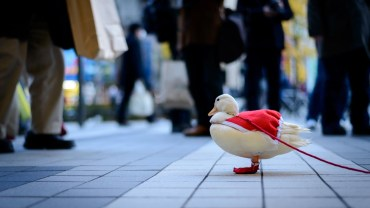 Christmas duck pet on a leash… only in Akihabara !