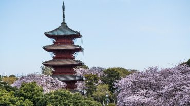 The Cherry Blossoms of Ikegami Honmonji