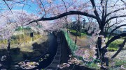 [360 Video] The Cherry blossoms of Shakujii Kawa