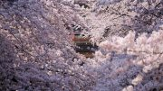 The Cherry Blossoms of Shakujii Kawa