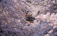 The Cherry Blossoms of Shakujii Kawa