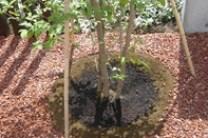 シンボルツリーとテコラ