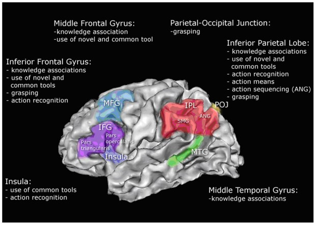 According to http://thebrain.mcgill.ca/flash/i/i_10/i_10_cr/i_10_cr_lan/i_10_cr_lan.html: '' inferior parietal lobule of the left hemisphere lies at a key location in the brain, at the junction of the auditory, visual, and somatosensory cortexes, with which it is massively connected. In addition, the neurons in this lobule have the particularity of being multimodal, which means that they can process different kinds of stimuli (auditory, visual, sensorimotor, etc.) simultaneously. This combination of traits makes the inferior parietal lobule an ideal candidate for apprehending the multiple properties of spoken and written words: their sound, their appearance, their function, etc. This lobule may thus help the brain to classify and label things, which is a prerequisite for forming concepts and thinking abstractly''.