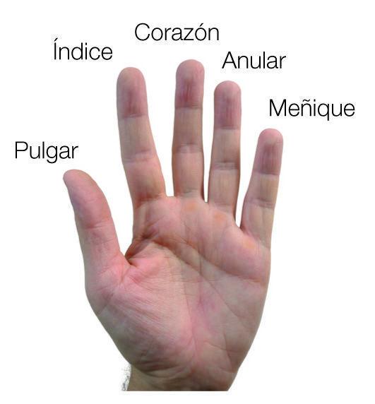 Worksheet. Significado de los Dedos de la Mano  Escucha Tomatis y Terapias