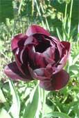 Violette Tulpe (Bildquelle: Henry)