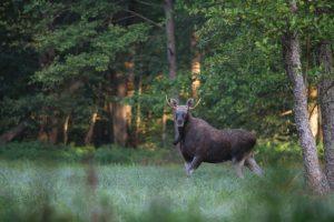 Moose in Białowieża Forest