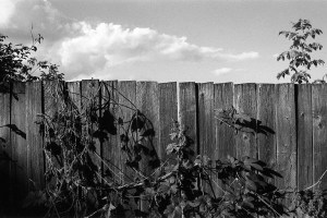 Fence with ivy