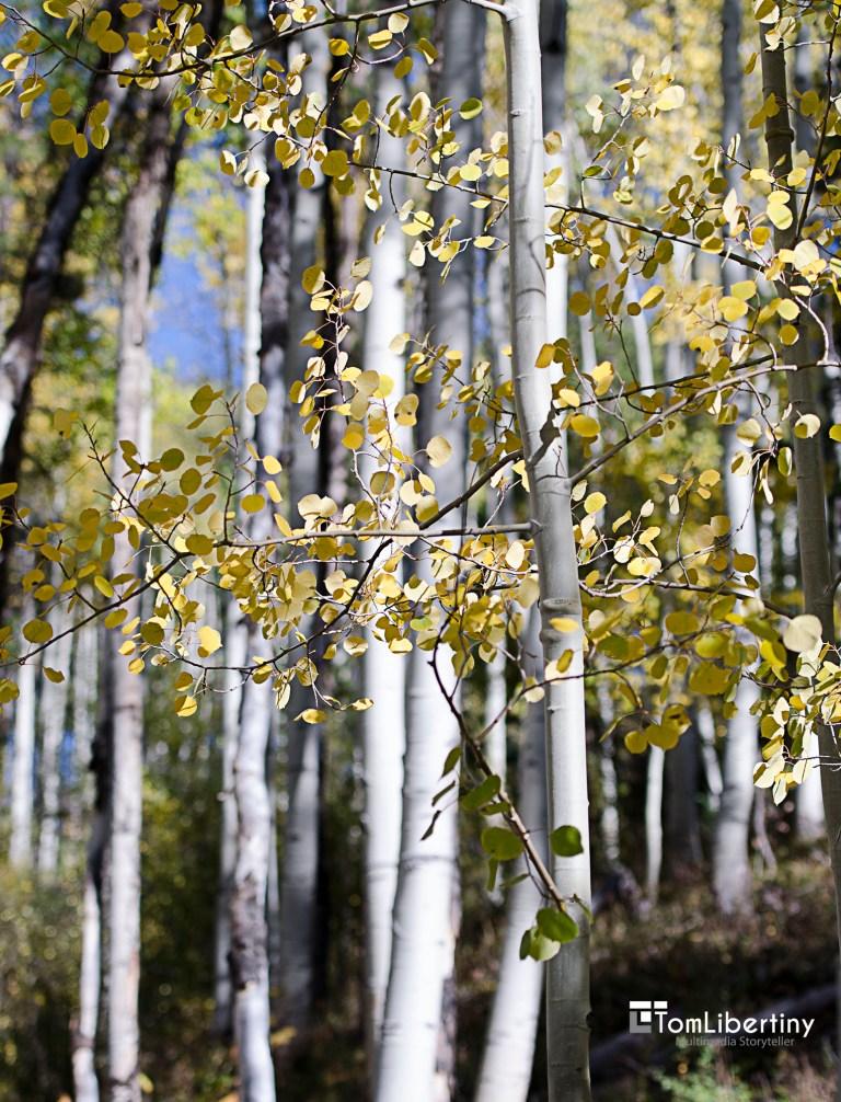 Aspens Vail, Colorado Photography | Tom Libertiny