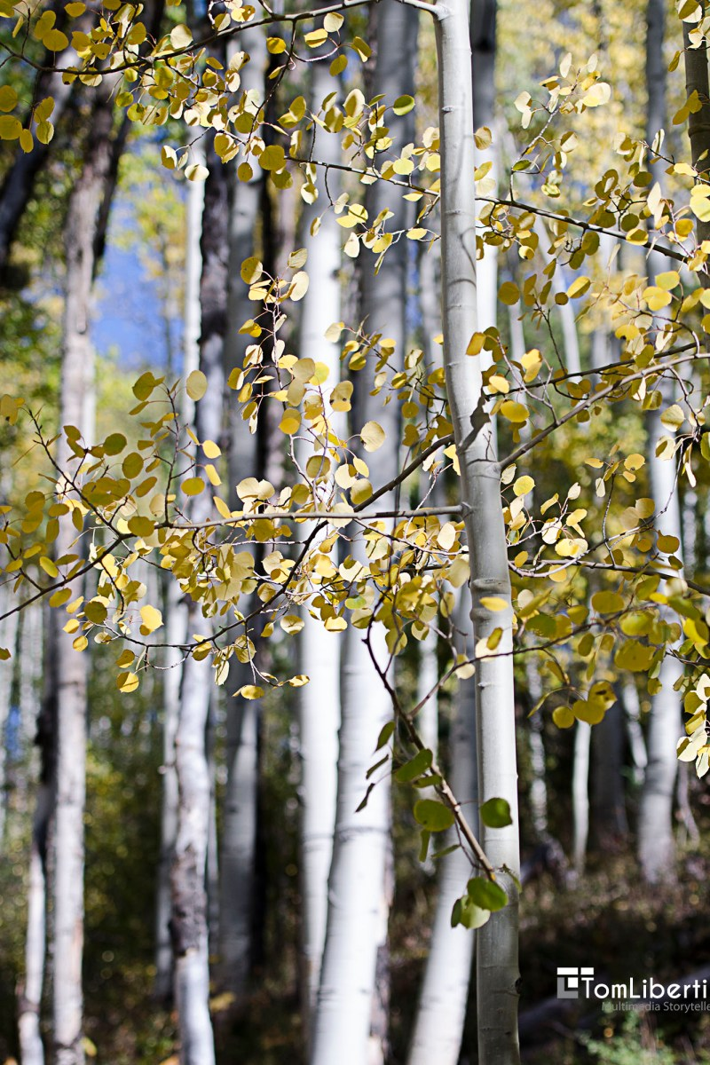 Aspen Trees | Life