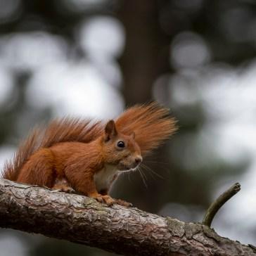 Egern fra Gåsemosen (Rørvig)