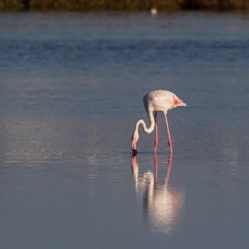 Flamingoer fra S´Albufera ved Alcūdia 10-10