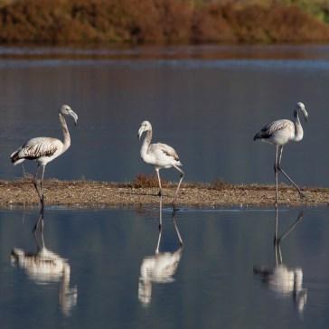 Flamingoer fra S´Albufera ved Alcūdia 8-10