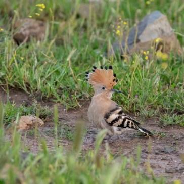 Hærfugl nær Campo Lugar d. 22 april. Extremadura 2