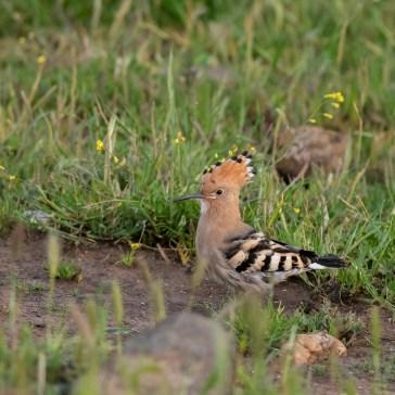 Hærfugl nær Campo Lugar d. 22 april. Extremadura 1