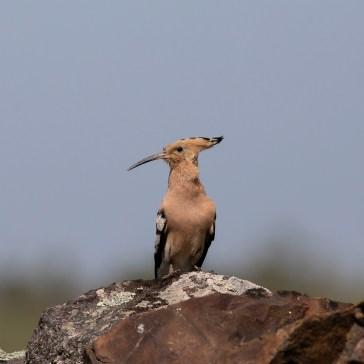 Hærfugl nær Santa Ana d. 25 april. Extremadura 3